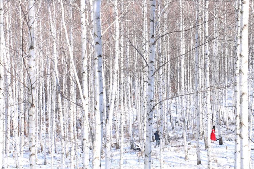 자작나무숲 겨울