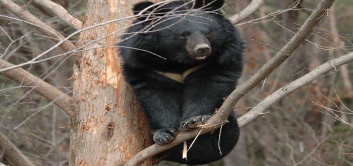 나무위에서 놀고 있는 반달곰 ⓒ 문화포털기자단 임숙자
